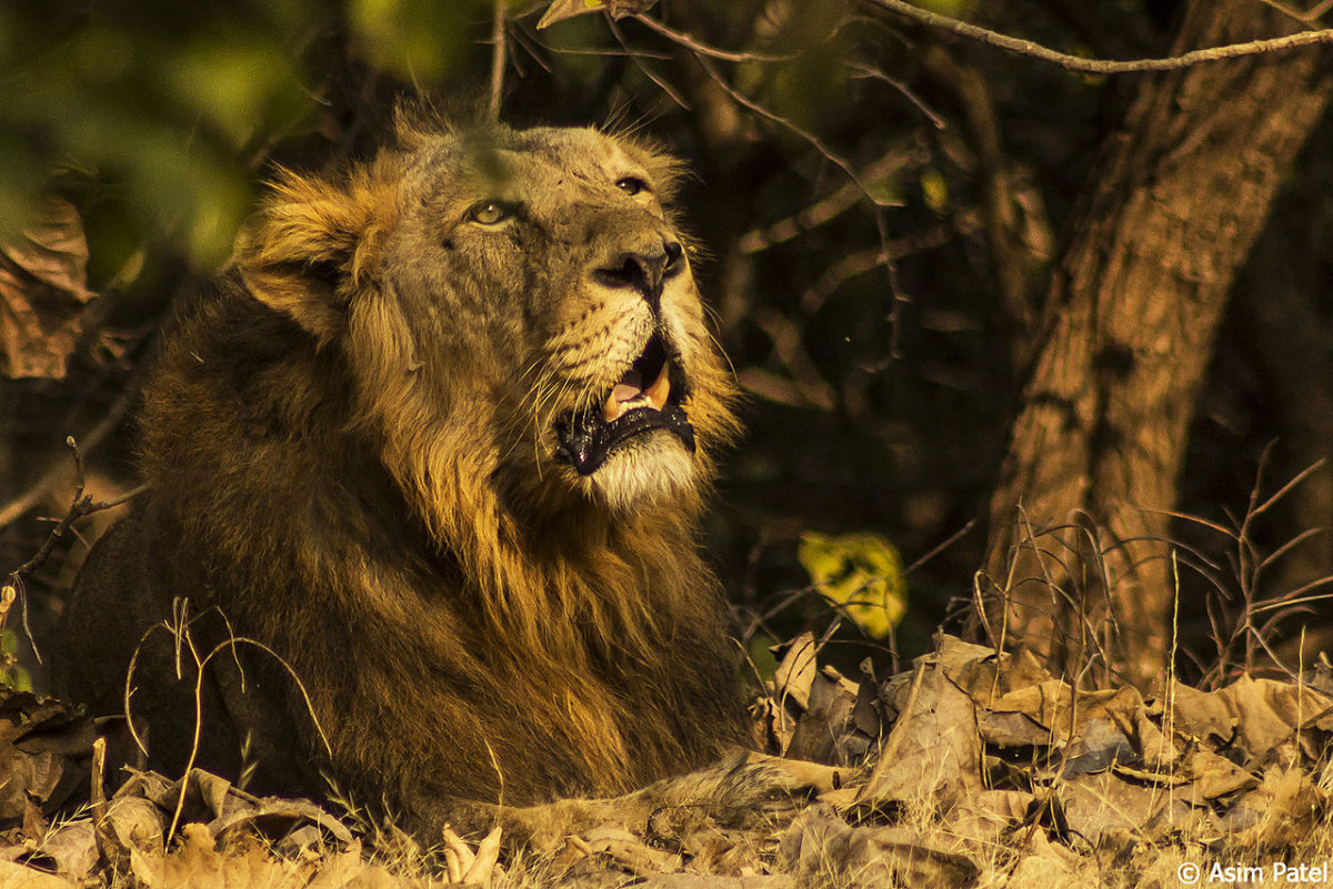 Asiatic-Lion-Gujarat